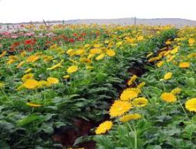 Hi-tech technique of growing flowers reaps benefits in Hills