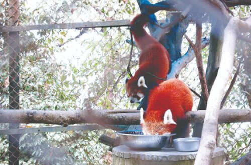 Darjeeling Zoo to get 5 red pandas from abroad